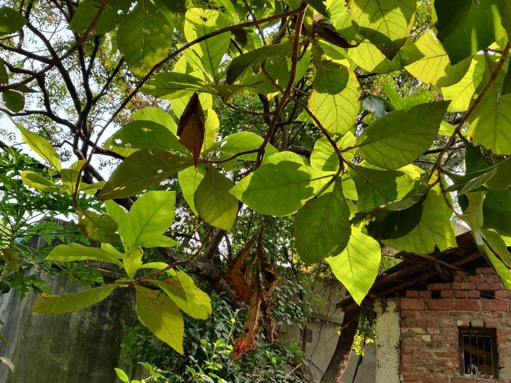 Sal Tree Leaves